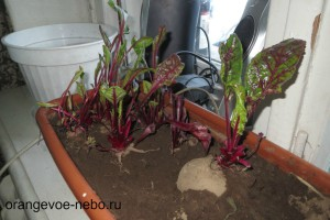 Мой огород на подоконнике